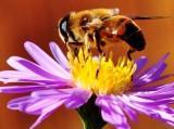 Цртаћ – Пчела и мува